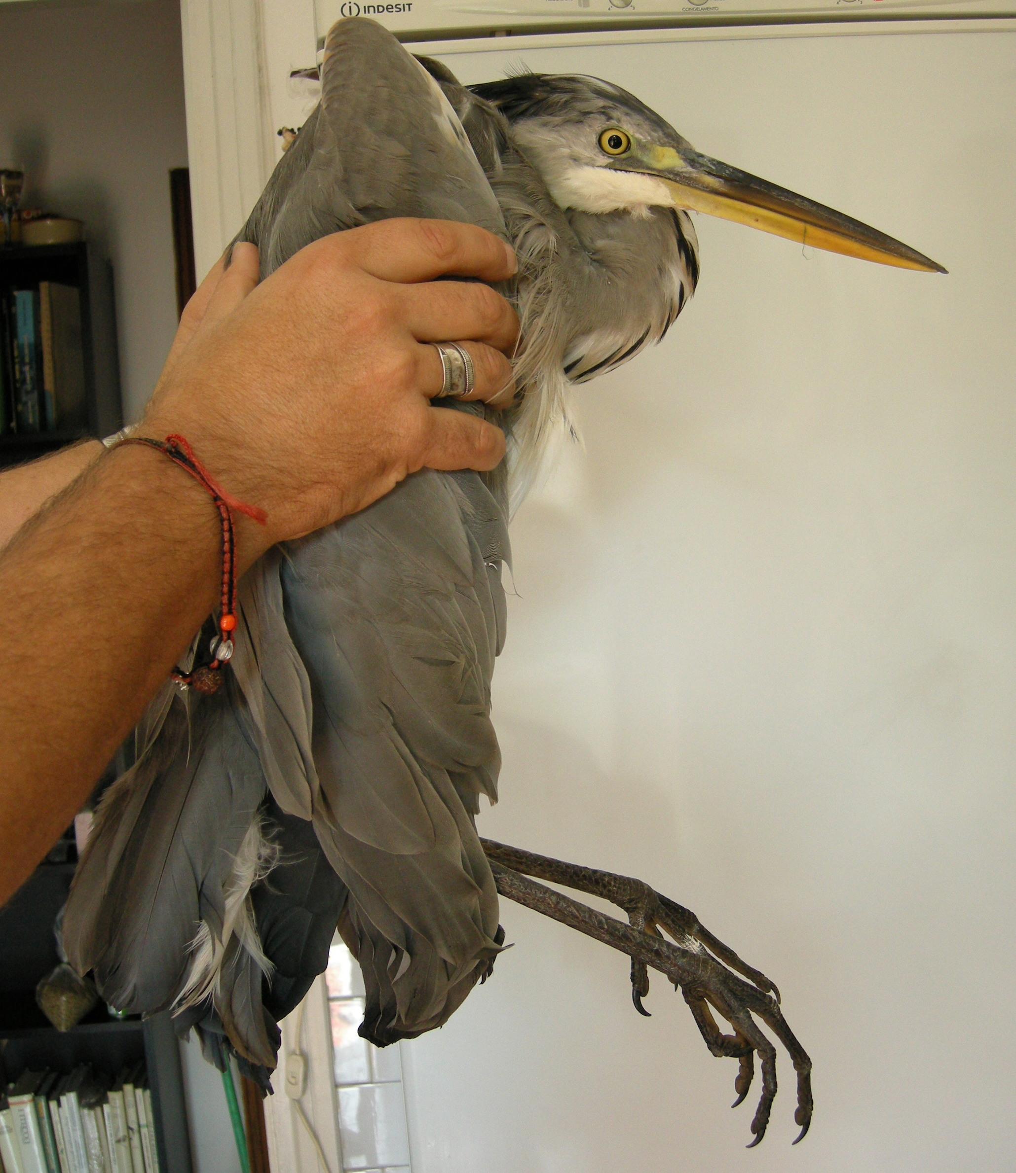 Nido Di Tortore Sul Balcone sos fauna selvatica – lac lega abolizione caccia